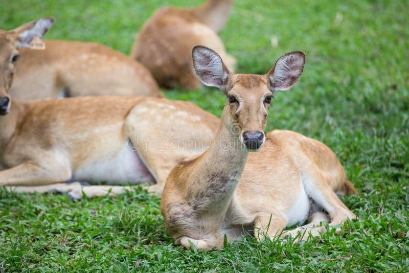 Gruppo di cervi dell'antilope che si siedono sull'erba fotografia stock