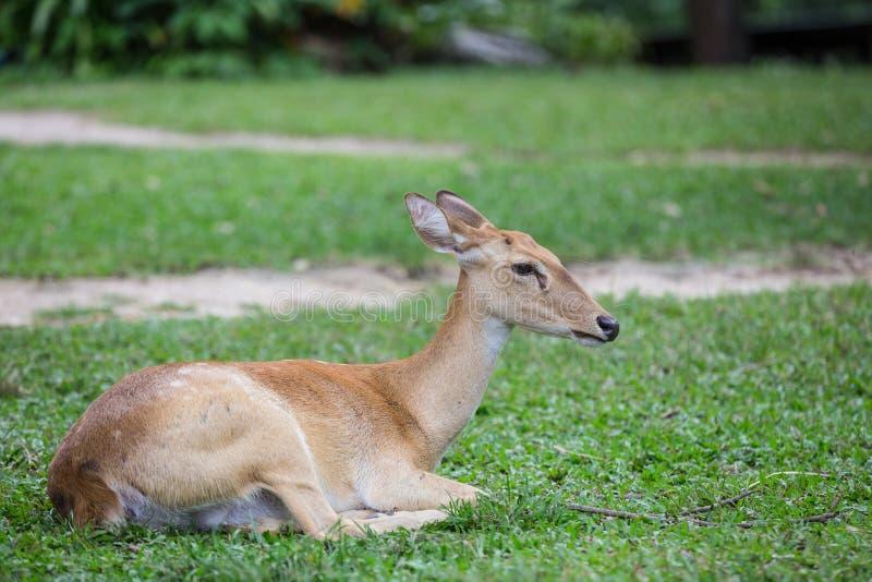 Gruppo di cervi dell'antilope che si siedono sull'erba fotografie stock
