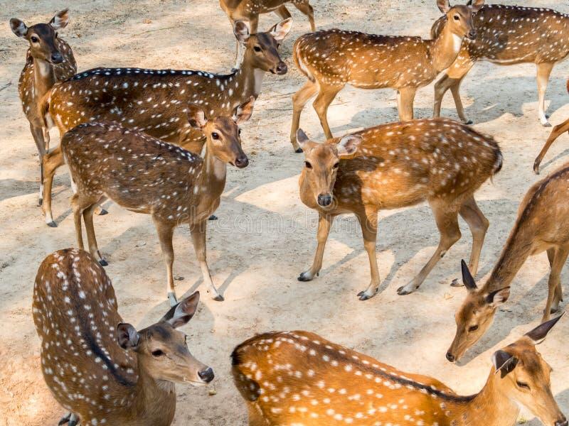Gruppo di cervi macchiati in habitat naturale fotografie stock libere da diritti