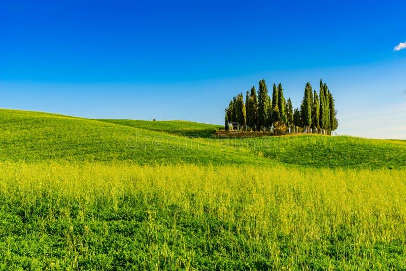 Gruppo di cipressi italiani nei pressi di San Quirico d'Orcia - Vista aerea - Bello scenario paesaggistico - Val d'Orcia, Toscana fotografia stock