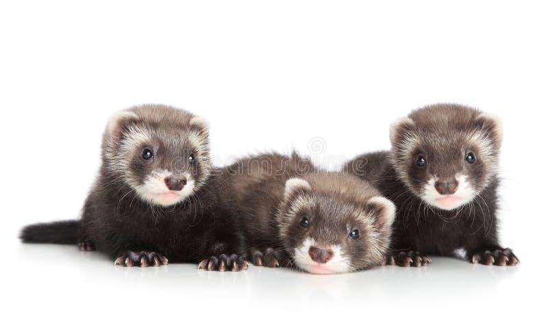 Gruppo di cuccioli del furetto su fondo bianco immagine stock