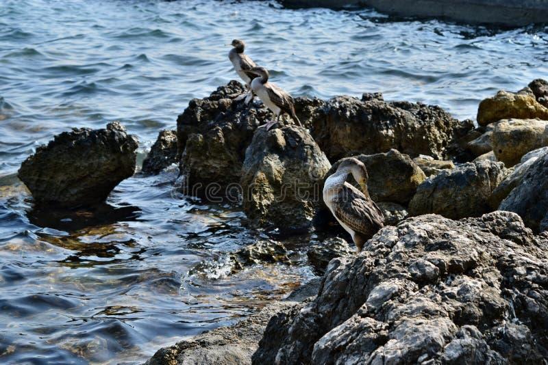 Gruppo di desmarestii mediterraneo di Aristotelis del halacrocorax del tessuto felpato di estate che sta su una roccia fotografia stock libera da diritti