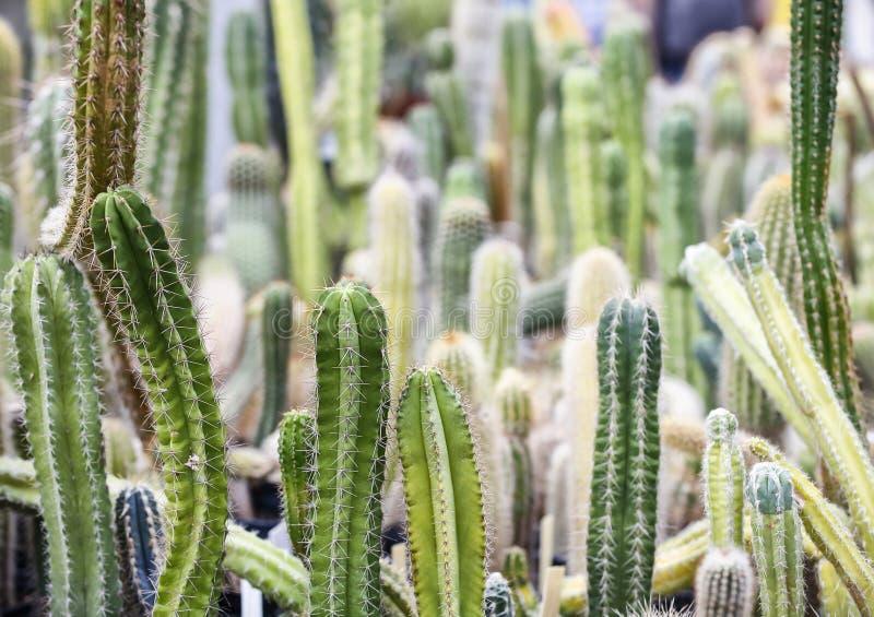 Gruppo di diverse piante di cactus nel giardino botany a Kharkov, Ucraina Un cactus o cactus è membro della famiglia di piante Ca immagine stock libera da diritti