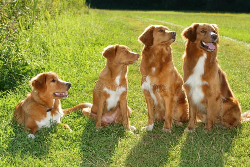 Gruppo di documentalista suonante dell'anatra di Nuova Scozia dei cani fotografia stock libera da diritti