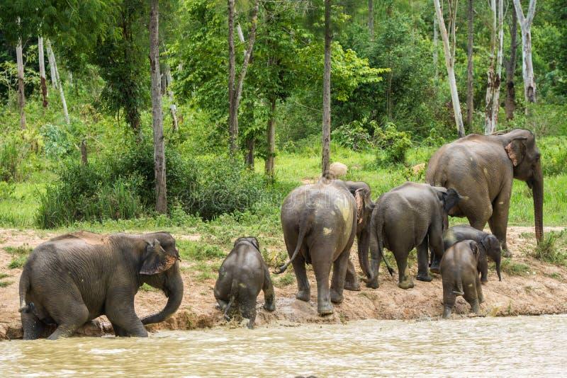 Gruppo di elefante selvaggio che cammina e che inonda nella foresta immagini stock libere da diritti