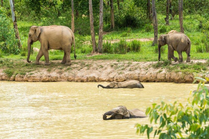 Gruppo di elefante selvaggio che cammina e che inonda nella foresta immagine stock