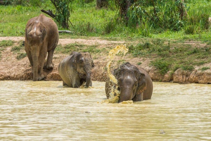 Gruppo di elefante selvaggio che cammina e che inonda nella foresta fotografie stock libere da diritti