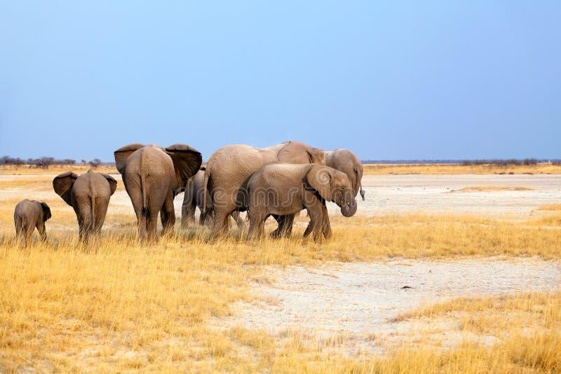 Gruppo di elefanti grandi e di piccoli cuccioli sul fondo giallo del cielo blu e dell'erba nel parco nazionale di Etosha, Namibia fotografie stock libere da diritti
