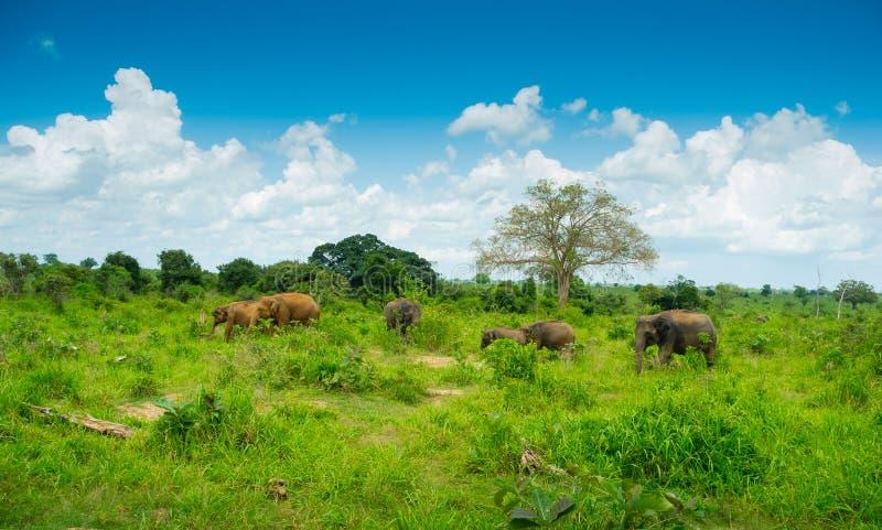 Gruppo di elefanti selvaggi immagine stock libera da diritti