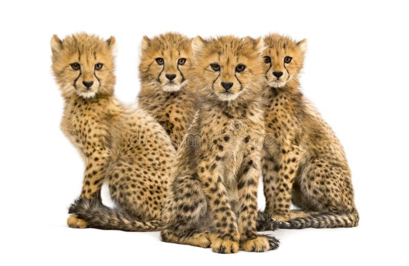Gruppo di famiglia di tre mesi del ghepardo di seduta dei cuccioli immagine stock