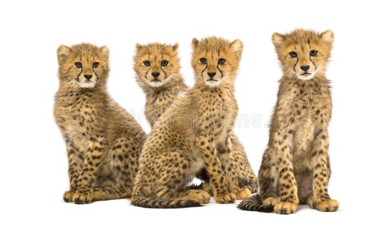 Gruppo di famiglia di tre mesi del ghepardo di seduta dei cuccioli fotografia stock