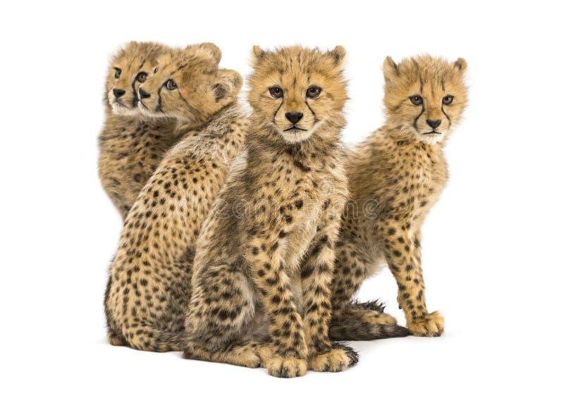Gruppo di famiglia di tre mesi del ghepardo di seduta dei cuccioli immagini stock libere da diritti