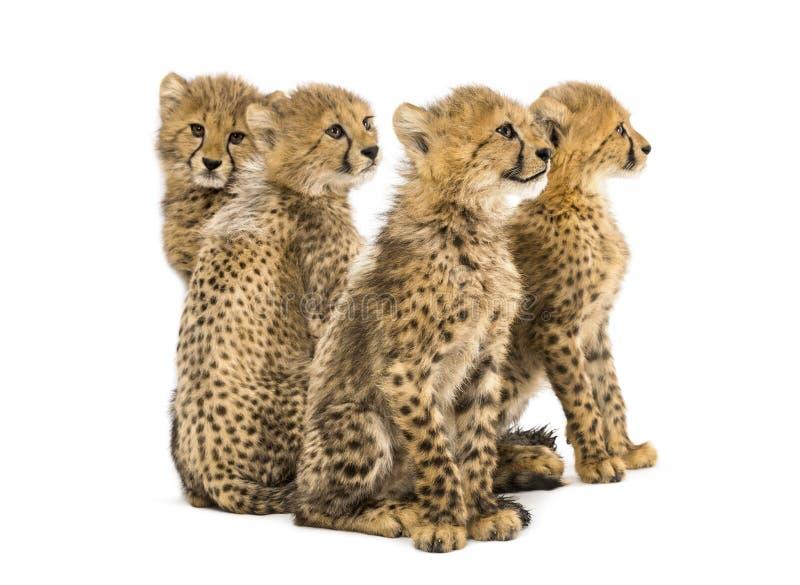 Gruppo di famiglia di tre mesi del ghepardo di seduta dei cuccioli immagine stock libera da diritti