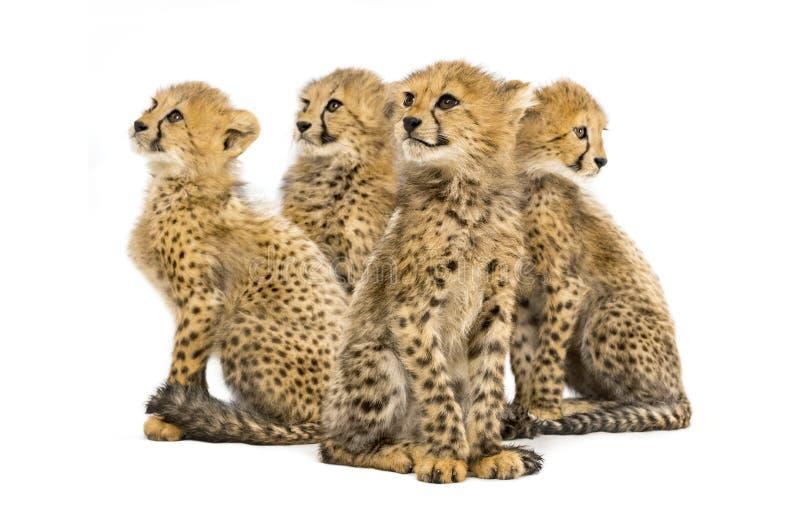Gruppo di famiglia di tre mesi del ghepardo di seduta dei cuccioli fotografie stock