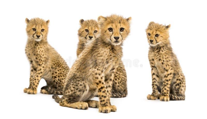 Gruppo di famiglia di tre mesi del ghepardo di seduta dei cuccioli fotografie stock libere da diritti