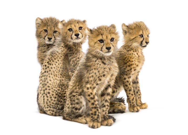 Gruppo di famiglia di tre mesi del ghepardo di seduta dei cuccioli fotografia stock libera da diritti