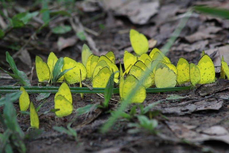 Gruppo di farfalle gialle sulla terra immagini stock
