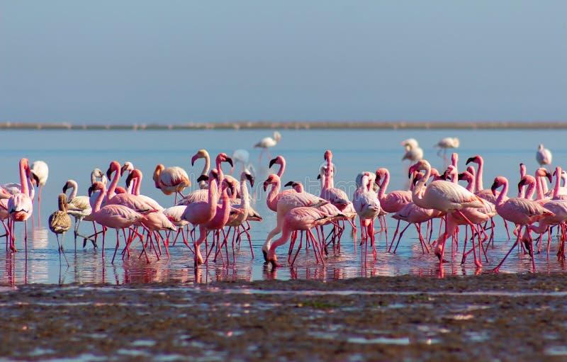 Gruppo di fenicotteri rosa nella laguna blu un giorno soleggiato fotografia stock libera da diritti