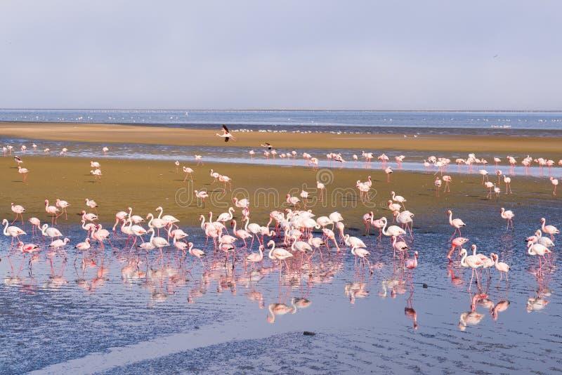 Gruppo di fenicotteri rosa sul mare alla baia di Walvis, la costa atlantica della Namibia, Africa fotografie stock