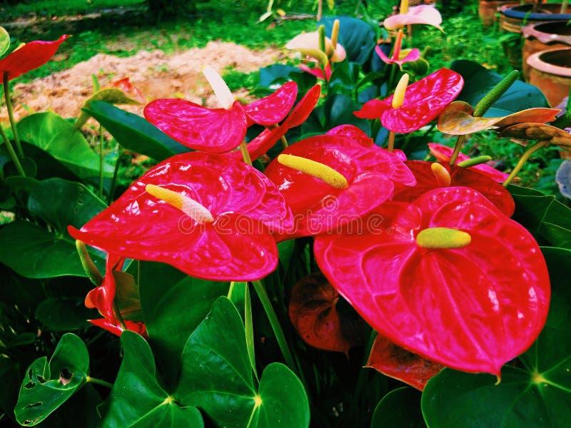 Gruppo di fiore di fenicottero rosso del fiore del ragazzo fotografia stock