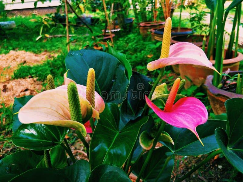 Gruppo di fiore di fenicottero rosso del fiore del ragazzo immagini stock libere da diritti