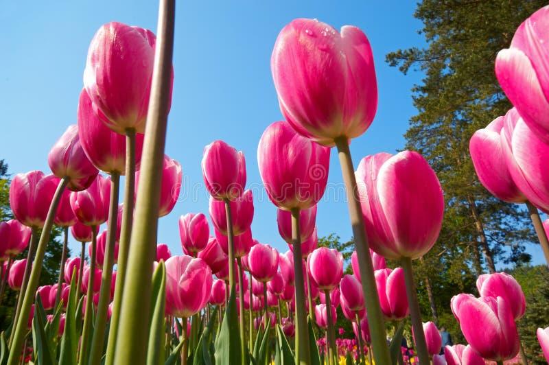 Gruppo di fiori del tulipano immagine stock libera da diritti