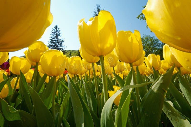 Gruppo di fiori del tulipano fotografie stock