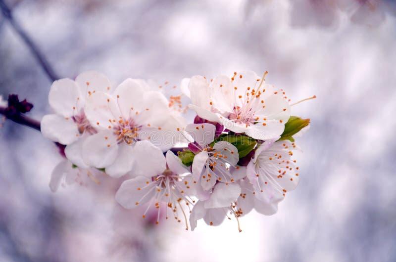 Gruppo di fiori della mela fotografie stock libere da diritti