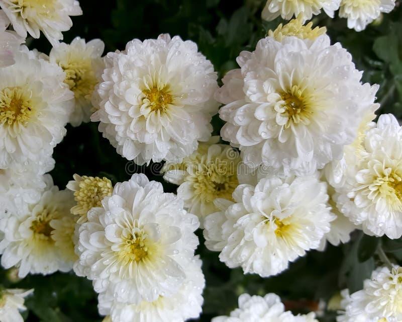 Gruppo di fiori nel mio giardino con le gocce di acqua su loro da una pioggia recente un giorno nuvoloso immagine stock