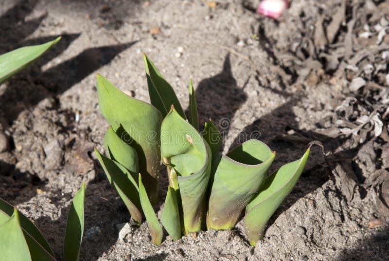 Gruppo di foglie del tulipano fotografia stock libera da diritti