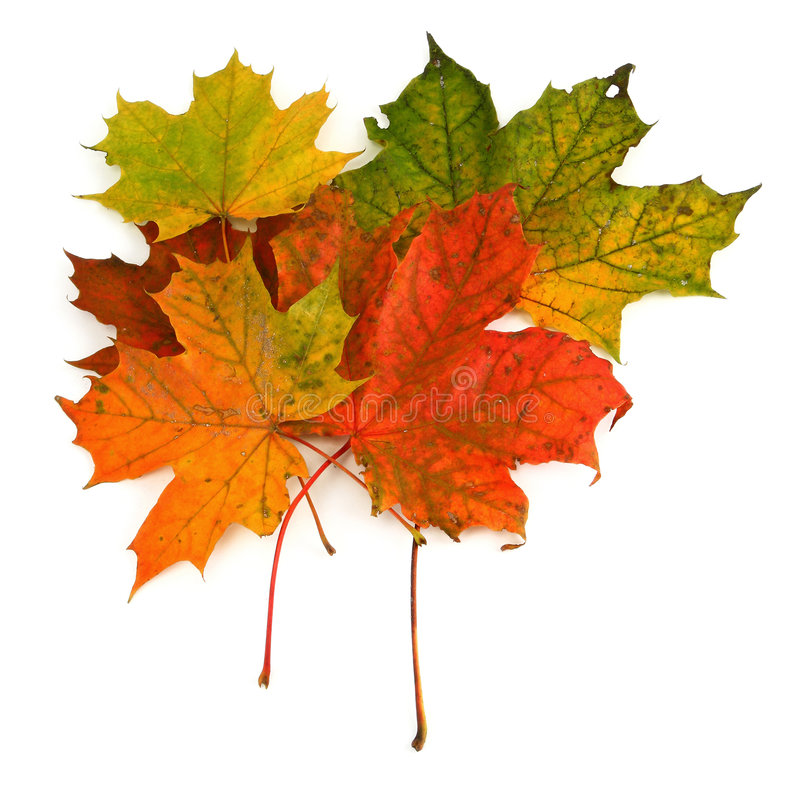 Gruppo di foglie di acero immagini stock