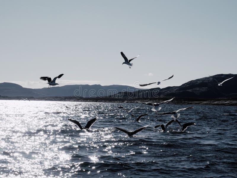 Gruppo di gabbiani affamati che si tuffano e che combattono per il pesce morto immagine stock