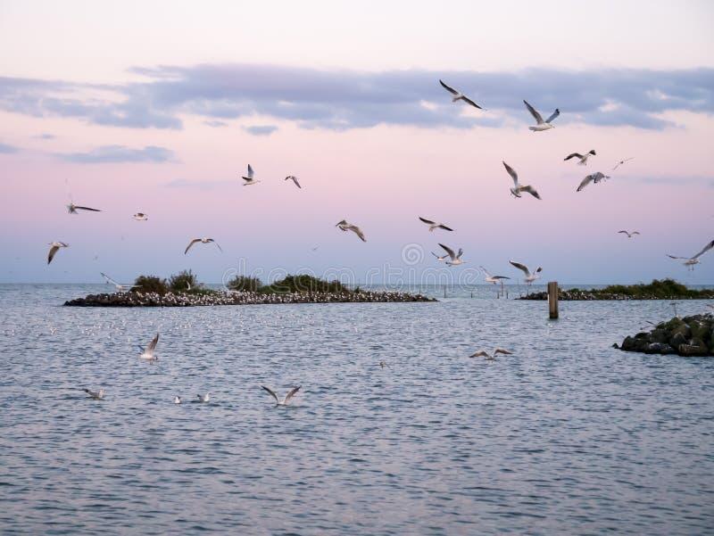 Gruppo di gabbiani comuni che sorvolano frangiflutti dell'isola artificiale De Kreupel in IJsselmeer, Paesi Bassi fotografia stock libera da diritti