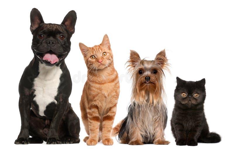 Gruppo di gatti e di cani che si siedono davanti al bianco immagini stock libere da diritti