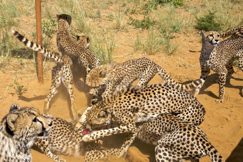 Gruppo di ghepardi che combattono per l'alimento, Namibia Fuoco selettivo fotografie stock