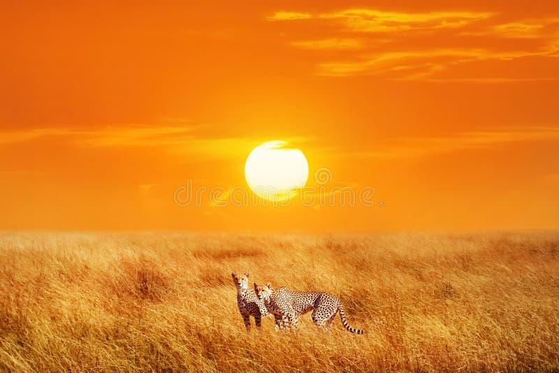 Gruppo di ghepardi nel parco nazionale africano Backgrou di tramonto fotografia stock