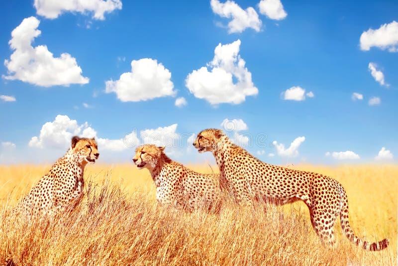 Gruppo di ghepardi nella savana africana contro un cielo blu con le nuvole L'Africa, Tanzania, parco nazionale di Serengeti fotografia stock libera da diritti