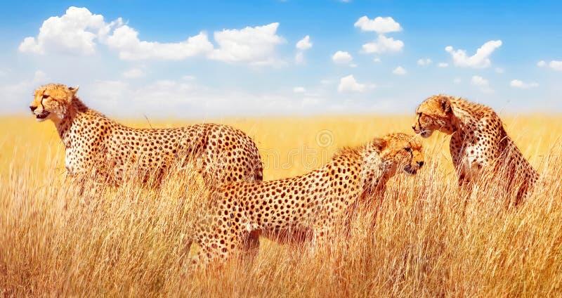 Gruppo di ghepardi nella savana africana L'Africa, Tanzania, parco nazionale di Serengeti immagine stock libera da diritti