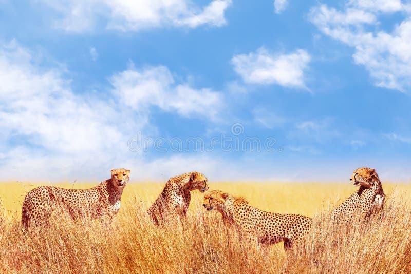 Gruppo di ghepardi nella savana africana L'Africa, Tanzania, parco nazionale di Serengeti Durata selvaggia dell'Africa immagini stock libere da diritti