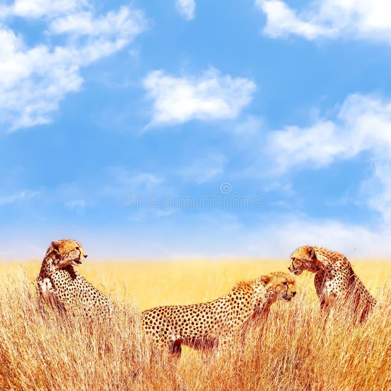 Gruppo di ghepardi nella savana africana L'Africa, Tanzania, parco nazionale di Serengeti Durata selvaggia dell'Africa fotografia stock libera da diritti