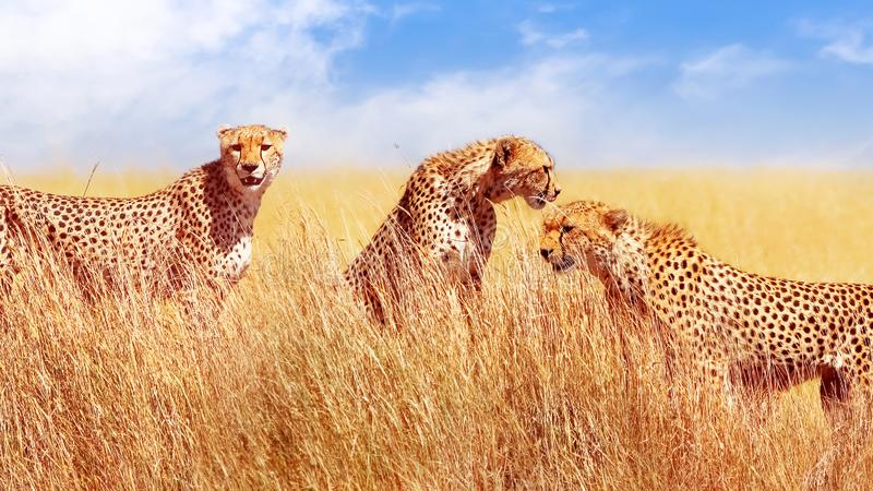 Gruppo di ghepardi nella savana africana L'Africa, Tanzania, parco nazionale di Serengeti Durata selvaggia dell'Africa immagine stock