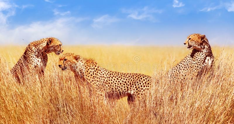 Gruppo di ghepardi nella savana africana L'Africa, Tanzania, parco nazionale di Serengeti Durata selvaggia dell'Africa fotografie stock libere da diritti