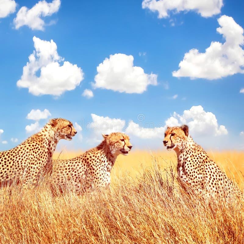 Gruppo di ghepardi nella savana africana L'Africa, Tanzania, parco nazionale di Serengeti Immagine quadrata Copi lo spazio fotografia stock libera da diritti
