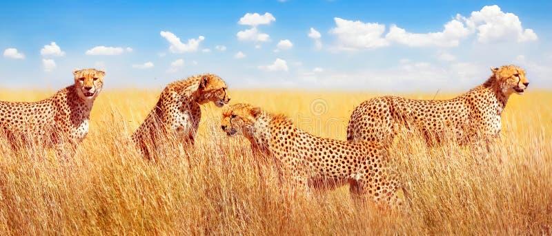 Gruppo di ghepardi nella savana africana L'Africa, Tanzania, parco nazionale di Serengeti Progettazione dell'insegna fotografia stock libera da diritti