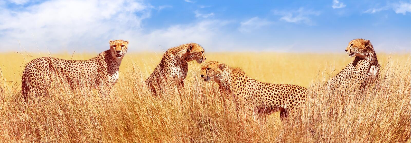 Gruppo di ghepardi nella savana africana L'Africa, Tanzania, parco nazionale di Serengeti Progettazione dell'insegna Durata selva fotografie stock libere da diritti