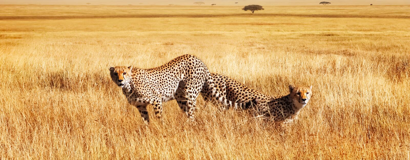 Gruppo di ghepardi nella savana africana La Tanzania, parco nazionale di Serengeti fotografie stock libere da diritti