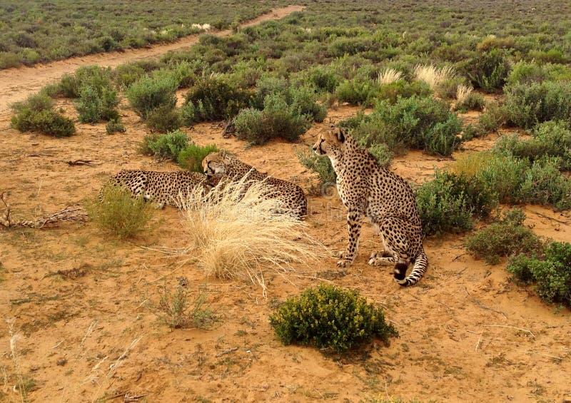 Gruppo di ghepardi in savana immagine stock