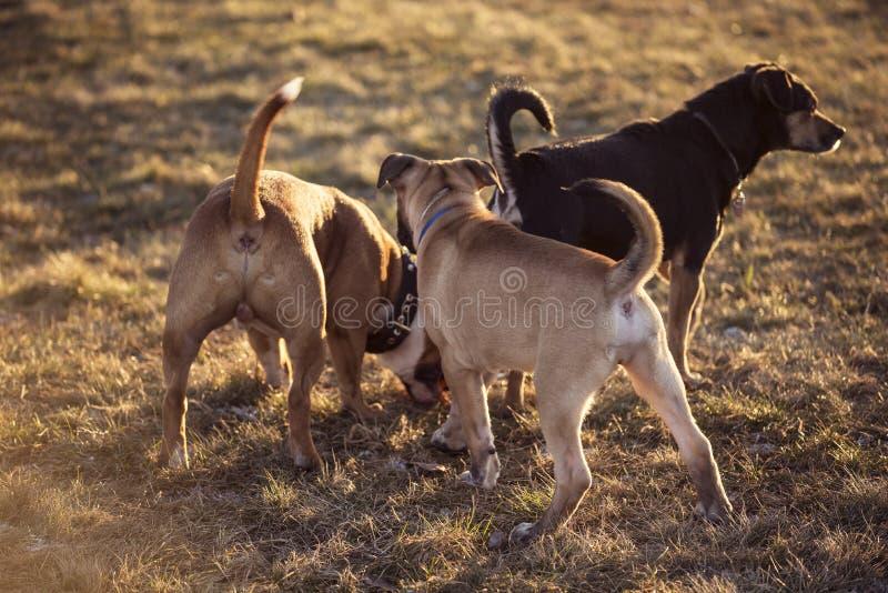 Gruppo di giovani cani che giocano fuori fotografia stock