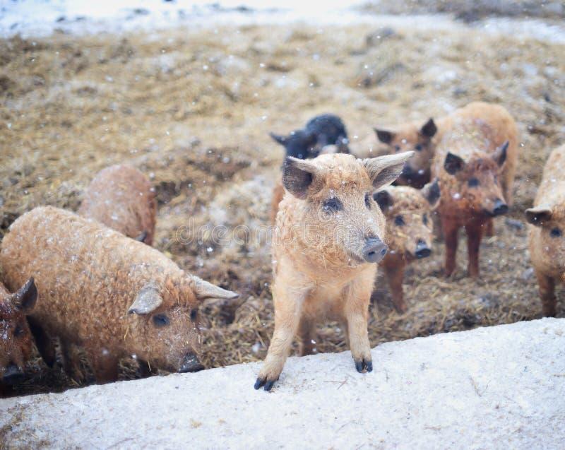 Gruppo di giovani maiali di mangalitsa nell'inverno sulla neve fotografie stock