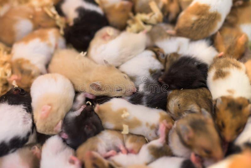 gruppo di giovani mouses del criceto fotografie stock